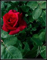 Rose by Morillas