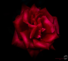 Mister Lincoln Rose by SharonLeggDigitalArt