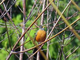 Robin In Thicket by wolfwings1
