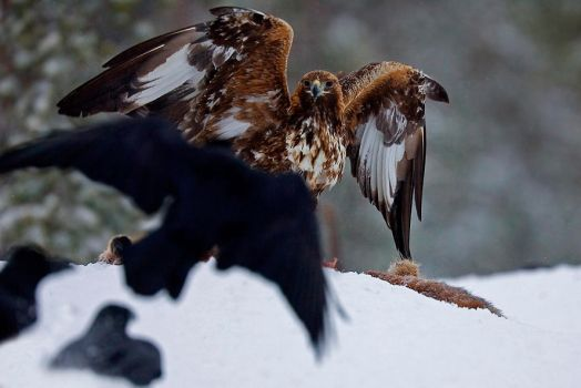 Golden eagle and ravens by Mateuszkowalski