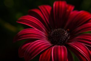 Claret Cape marguerite by sztewe
