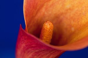Orange Flower Macro 1 by AaronPlotkinPhoto