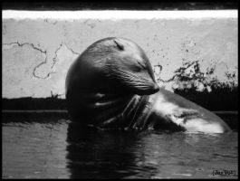Black and White Sealion by jayvoh