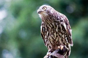 Barking Owl by DanielleMiner