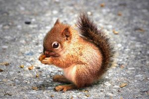 Red Pacifyer Squirrel by hyperwittlebunny
