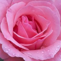 Pink Rose III by morfeus888