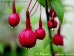 Fuschia buds by aurora19