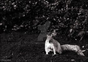 London - St James Park - Squirrel by MarieFieve