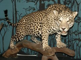 leopard stock 01 by a-girl-takes-photos