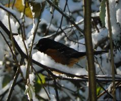 A Towhee in a hazelnut tree by The-Darkwolf