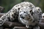Snow Leopard II by Vanell-Photography