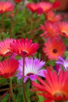 Livingstone Daisy by cheah77