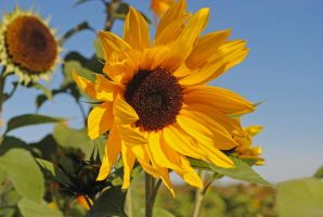 Sunflower 2 by LucieG-Stock