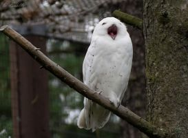 Bird Yawn by Enalla