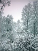 Snowy Trees by Freedom-Fighter