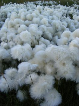 Tundra cotton field 2 by Arctic-Stock