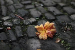 A fallen flower on a rainy day. by fatgeekuk