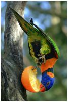 Rainbow Lorikeet II by GreenEyedHarpy