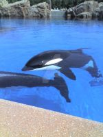 Killer Whales from MarineLand1 by Spinosaur123