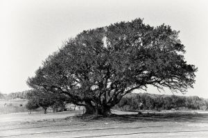 The Old Tree by Flyy1