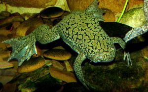 African Clawed Frog by Dieffi