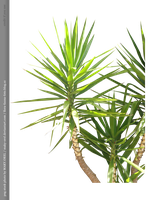 PNG STOCK: Palm tree 2 by MAKY-OREL
