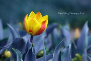 Tulip Beauty by RHCheng