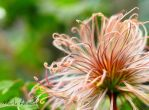 Clematis deflowered by Mark-Allison
