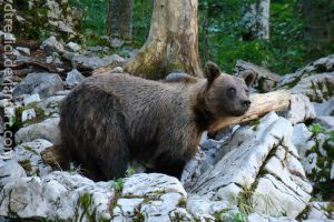 Slovenian brown bear II by dtredici