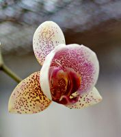 Orchid flowers 11 by a6-k