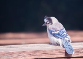 Baby Blue Jay Deep in Thought by CoastPhase