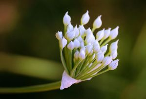 Garlic Chive Flowers by Monkeystyle3000
