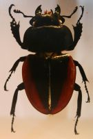 Female stag beetle by deadenddoll-stock