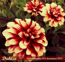 Dahlia by Sisterslaughter165