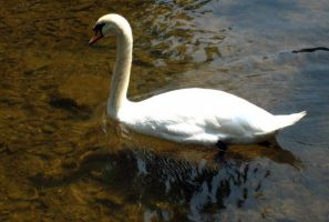 Swans 10 by Holly6669666