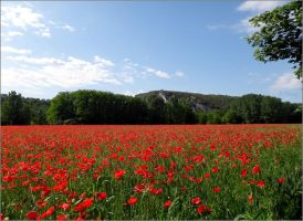 Poppies by Flammy87