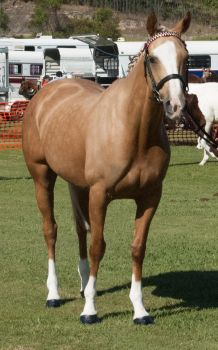 Palomino-mare4 by tbg-stock-images