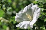 Rose of Sharon Hibiscus by Caloxort