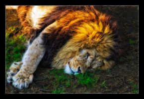 Lazy Lion by WiDoWm4k3r