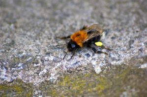 bomble bee hdr a by speed-demon