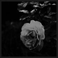 a rose in the night by PhotoFrama