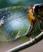 Dragonfly wing close up by jillpickle8