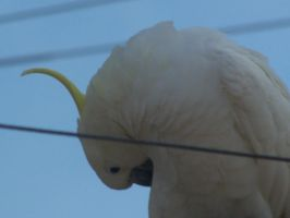 Sulpher Crested Cockatoo 16 by DreamsDeleted