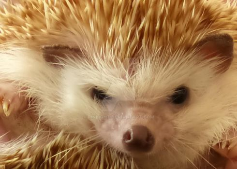 Hedgehog In Your Face by pinlight