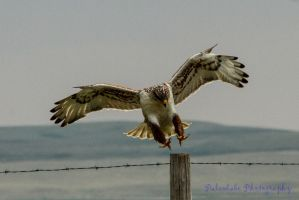 Ferruginous Hawk III by Kaptive8