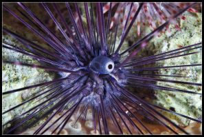 Diadema sea urchin by half-scientific