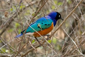 Superb Starling by DeviantTeddine