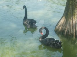 Black Swans by TrebrarunaDaDor