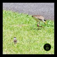 Masked Lapwing + Chick by Ranger-Roger-Reserve