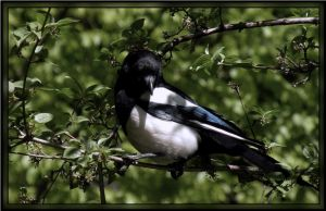 Magpie by EWCoyote